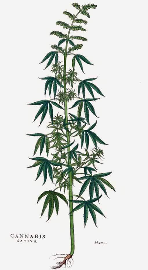sativa plant