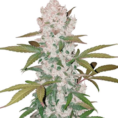 Girl Scout Cookies Auto