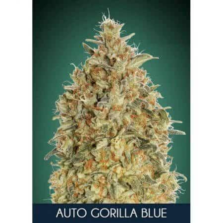 auto gorilla blue