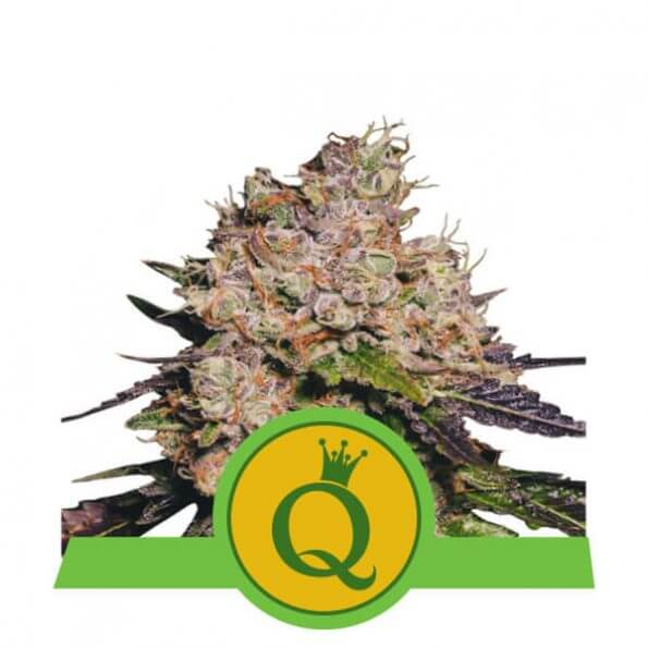 purple-queen-automatic