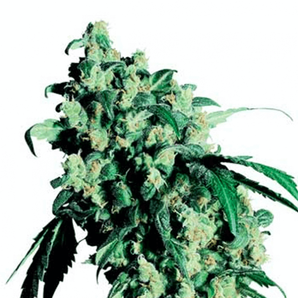 super-skunk-sensi-seeds-600×600