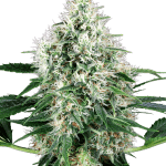 pure-power-plant-autoflowering-xl