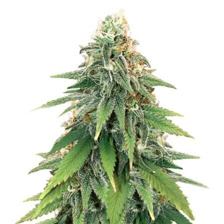 Godzilla Glue #4 Feminized Seeds Herbies Seeds